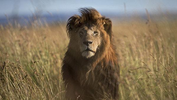 В ЮАР доставили более 30 спасенных в Южной Америке львов