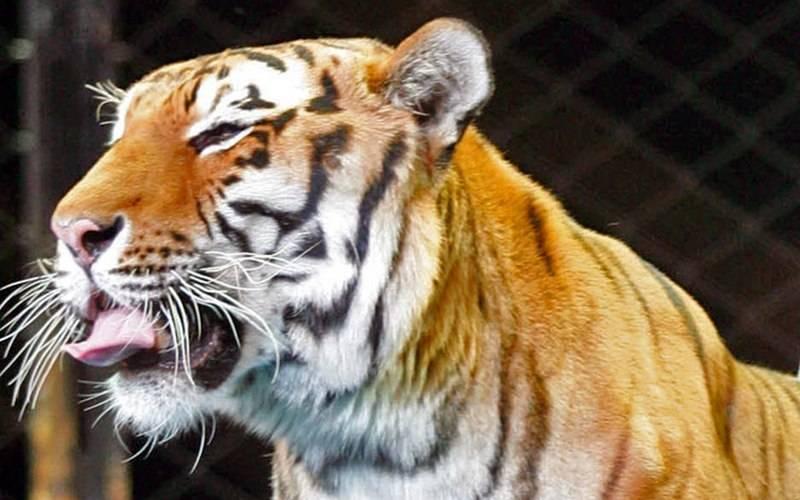 Хищники Марицы Запашной останутся вбрянском цирке еще надва месяца