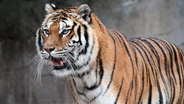 Тигры, сбежавшие из приюта, несколько часов бродили по лесу в Нидерландах