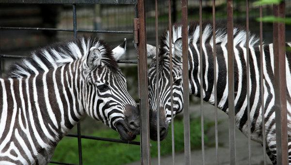 Хозяин сбежавшей в Нью-Йорке зебры предлагает вознаграждение за ее поимку