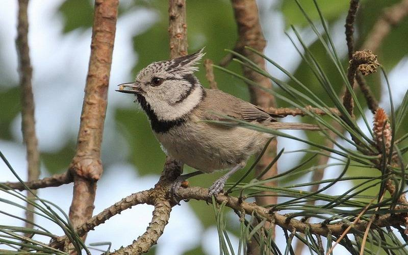 В «Брянском лесу» впервые обнаружили гнездование хохлатой синицы