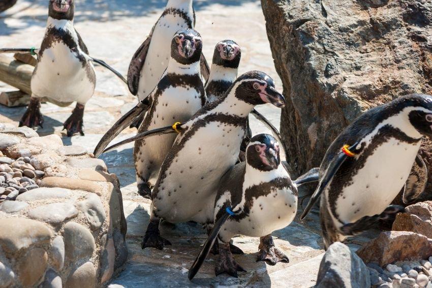 В Новосибирске поселились семь пингвинов Гумбольдта