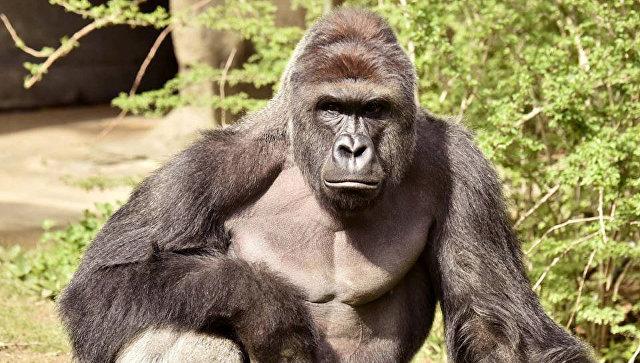 СМИ: мать упавшего в вольер гориллы ребенка заявила, что