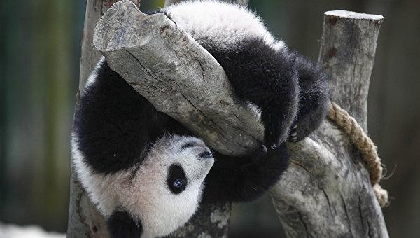 В Китае родился второй в 2016 году детеныш панды