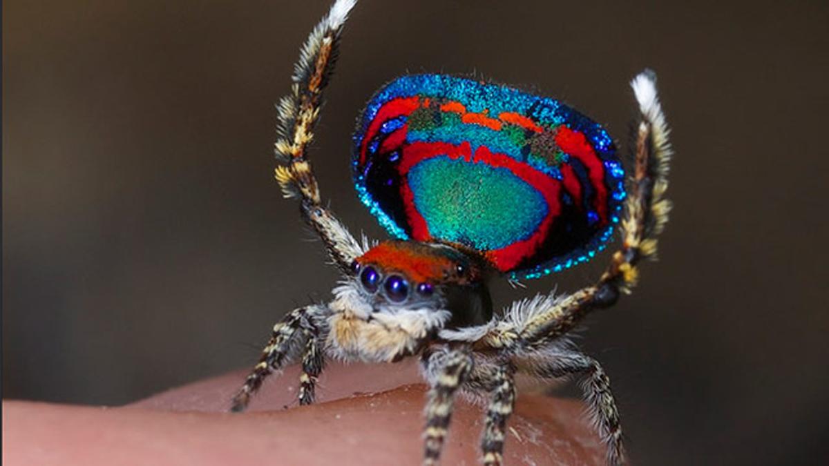 Открыты семь новых видов самых красивых пауков