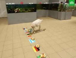 Самарский оракул коза Забияка предсказала исход чемпионата мира по футболу