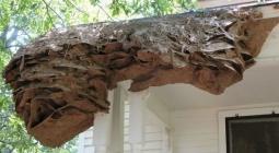 В США найдены огромные осиные гнезда, и их невозможно уничтожить