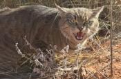 Кошки в Австралии убили миллиард животных за год. Как это вышло?