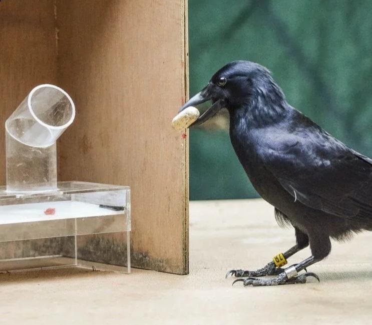Могут ли вороны оказаться умнее приматов?