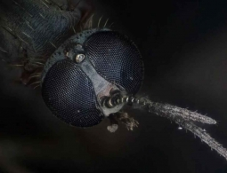 Ученые отучили комаров пить кровь и распространять болезни