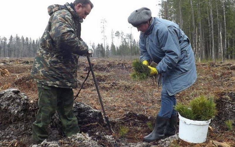 За день вБрянской области посадят около 600 елей исосен
