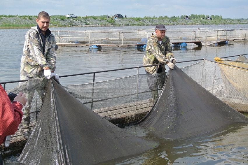 Как спасти муксуна и накормить уральцев свежей рыбой