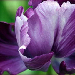 Ирис | Iris Blumen