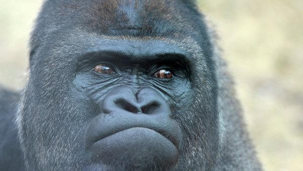 В зоопарке в Огайо застрелили гориллу, в вольер которой упал ребенок