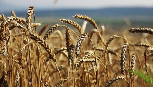 Торгпред Украины: Киев исчерпал квоту беспошлинного экспорта пшеницы в ЕС