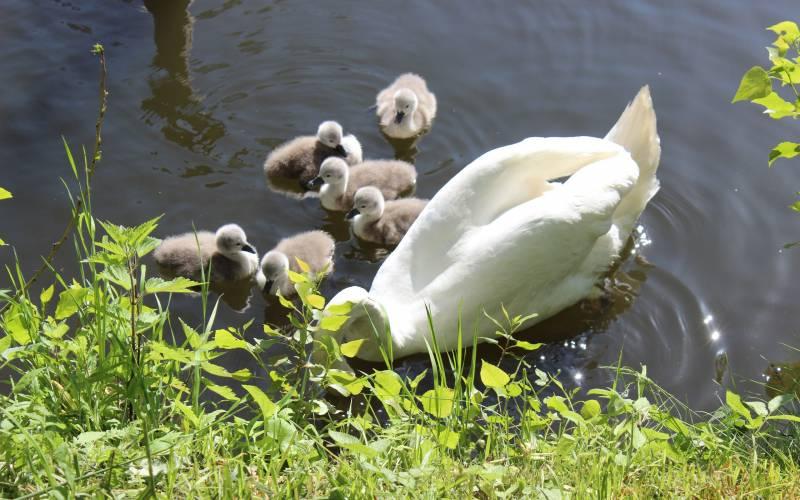 Сотрудники брянского музея-заповедника «Овстуг» опубликовали фотосет лебединого семейства