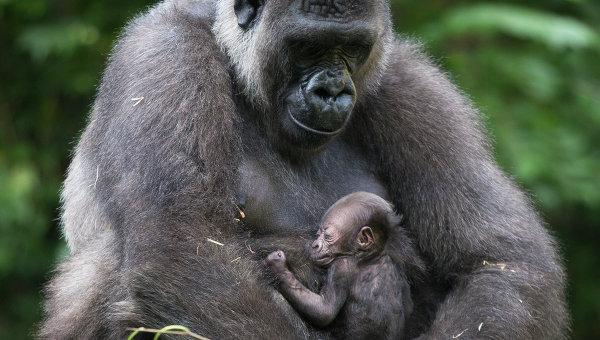 Зоопарк Цинциннати вновь открыл вольер, где ранее застрелили гориллу