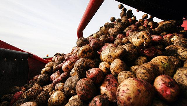 Запахло жареным: грозит ли России картофельный кризис