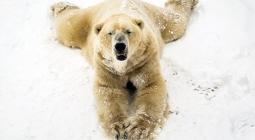 Белые медведицы помогут ученым изучить климат в Арктике