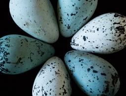 Биологи выяснили, почему у яиц есть тупой и острый конец