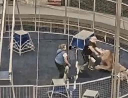 Порвал руку. Камеры сняли нападение льва на дрессировщика московского цирка
