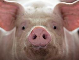 Можно ли пересадить человеку органы свиньи? Пора это выяснить