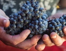 Ученые раскрыли неожиданную пользу винограда
