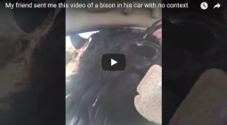 На YouTube шутят над мужчиной, в машину к которому залез зубр